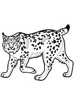 Раскраска - Дикое животное - Рысь
